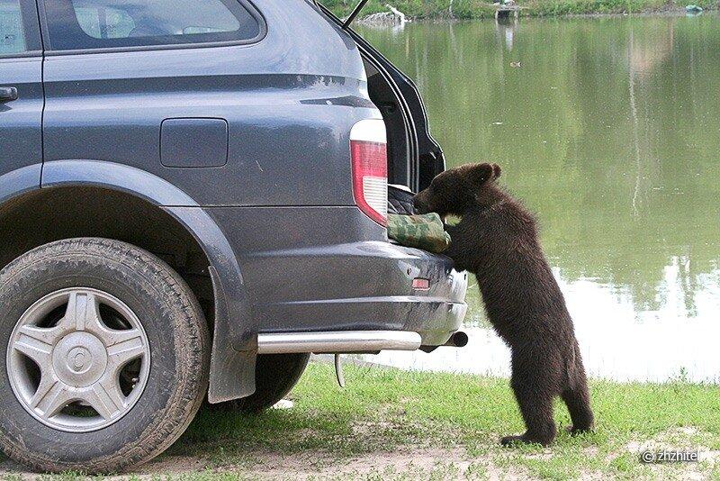 Прикольные картинки с медведем в машине