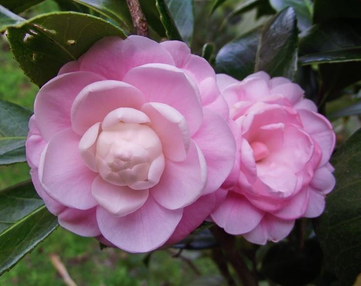 Розовые мелкие камелии