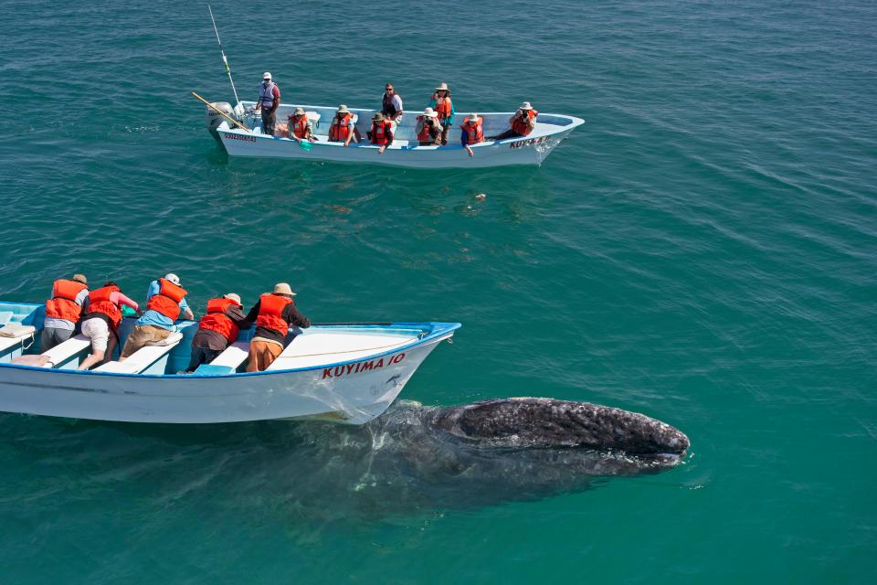 Невероятное зрелище: туристы гладят китов
