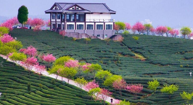 Путешествие в Китай - чайные фермы