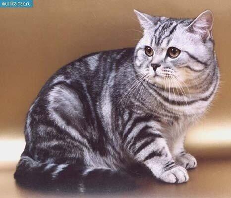 Фотографии Британская короткошерстная порода