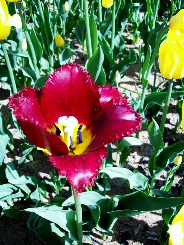 Выставочный тюльпан