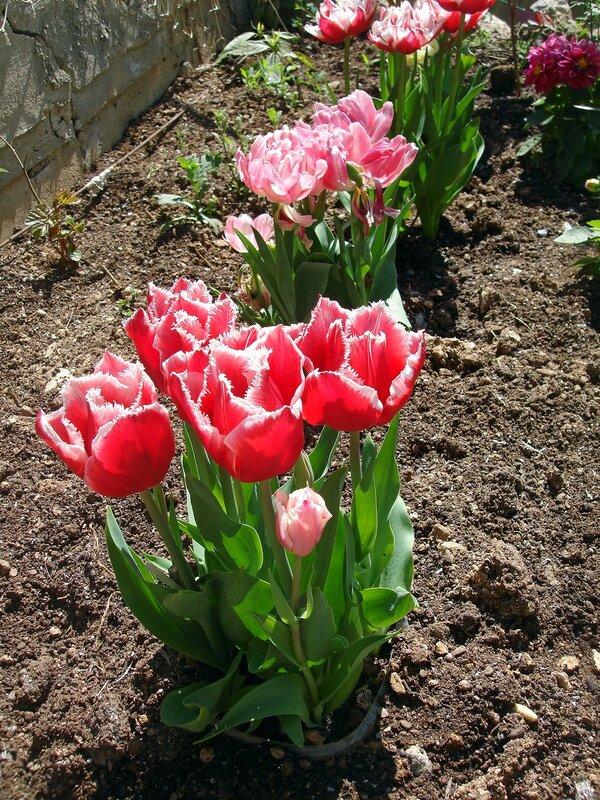 Крым,весна,Алупка,Людочкин сад,тюльпаны
