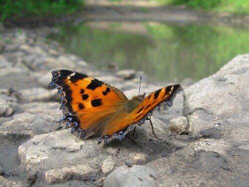 Альбом:  Бабочки Крапивница большая, Ванесса чёрно-рыжая, или Многоцветница чёрно-жёлтая Автор фото: Олег Селиверстов