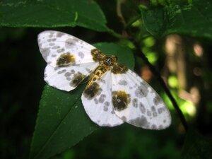 Пяденица крыжовниковая (Abraxas grossulariata)