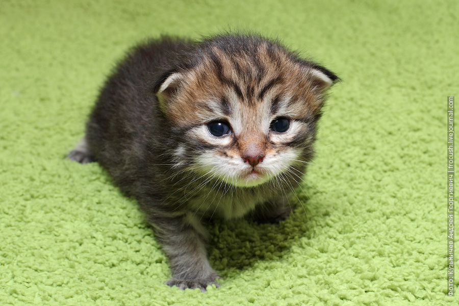 питомник мейн кун котята