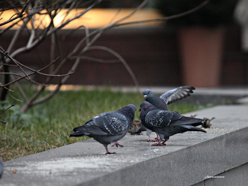 Голуби танцуют
