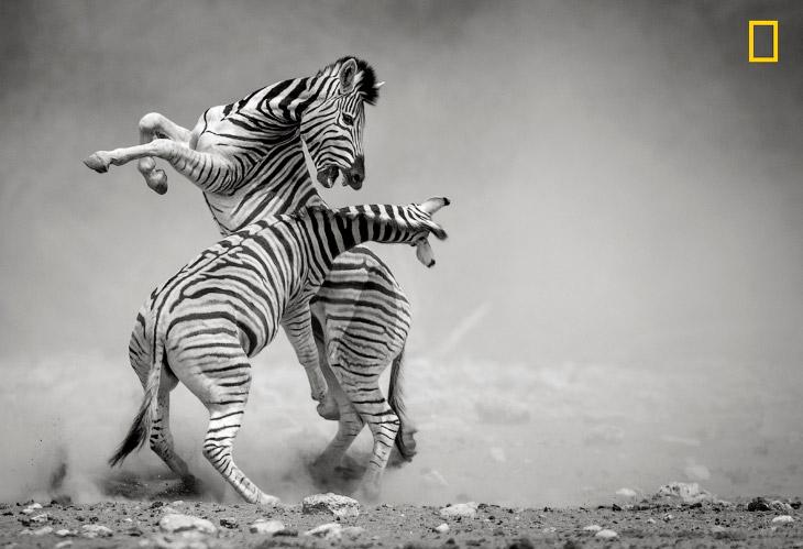 2. Гиены и львы — непримиримые враги, тем более львы часто отбирают у гиен добычу. Но когда их много