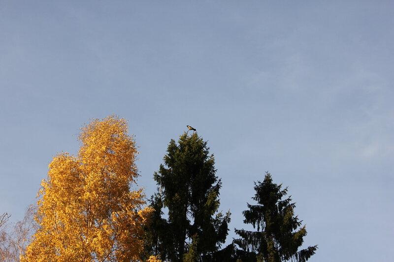 Ворона на ёлке