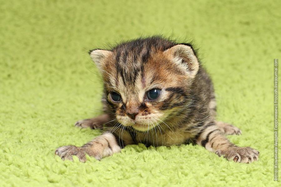Бомбеи нетрадиционных окрасов продажа котята Москва питомник