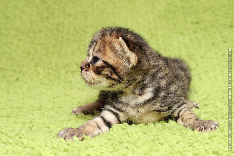 Москва питомник продажа котят Бомбеи нетрадиционных окрасов