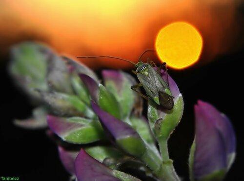 Клоп (слепняк) люцерновый / Adelphocoris lineolatus