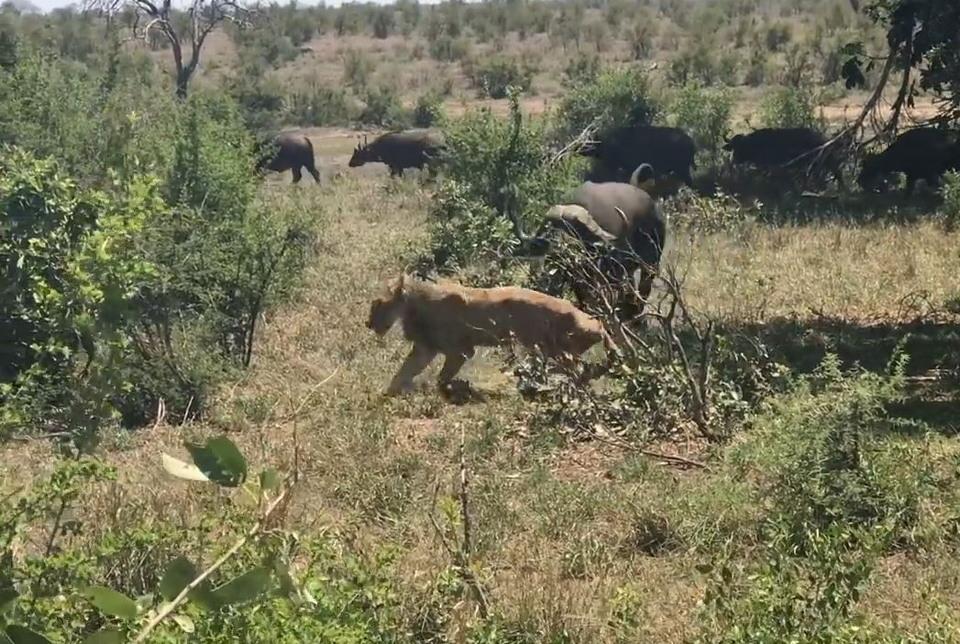 Нападение буйвола на львицу сняли на видео