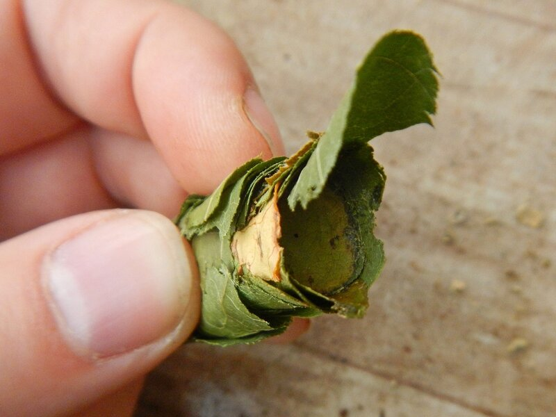 Кладка яиц неизвестного насекомого DSCN4684.JPG