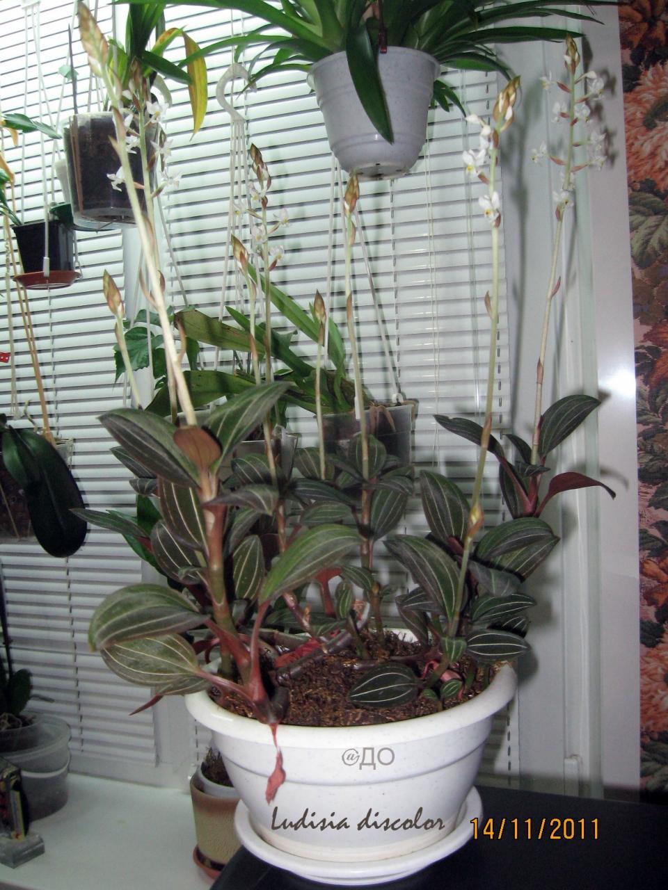 Драгоценная орхидея, цветение 2011