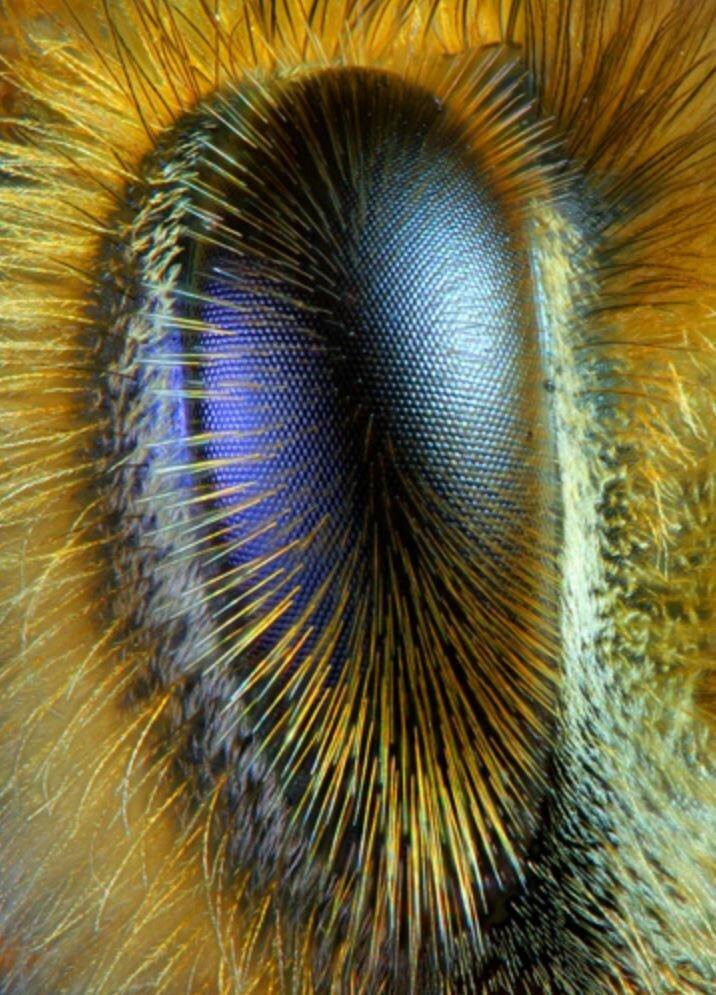 Глаз пчелы