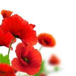Poppies (5).jpg