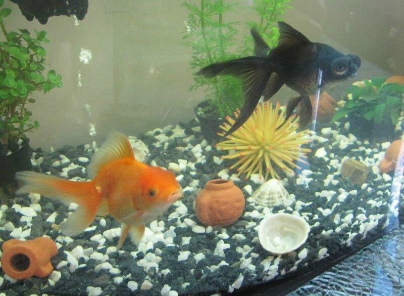 Кого можно сажать с золотыми рыбками 178