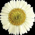 ldavi-gal-flower10.png