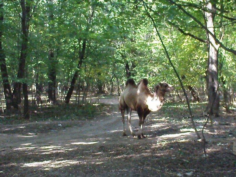 Харьковский лесной верблюд