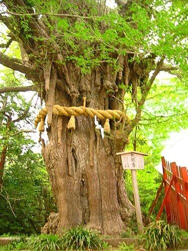 Гинкго дерево Хатиман-гу.
