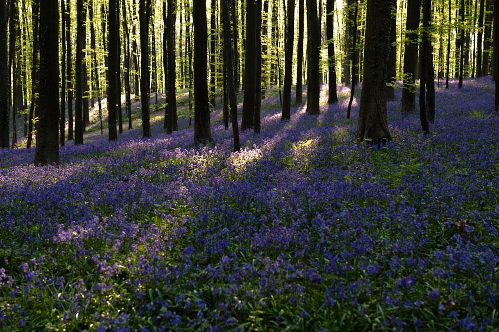 Фотографии Халлербоса   лес синих колокольчиков в Бельгии 0 140aed f97b0273 orig