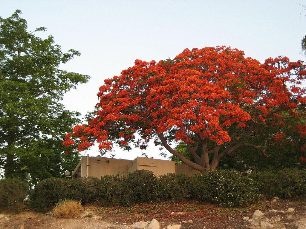 породы словацкий цветущие деревья индии фото родственники