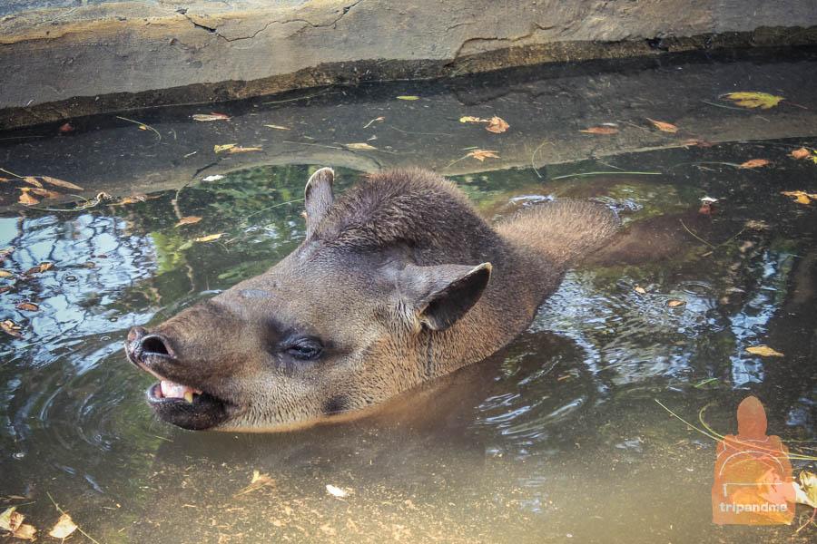 Тапир в зоопарке