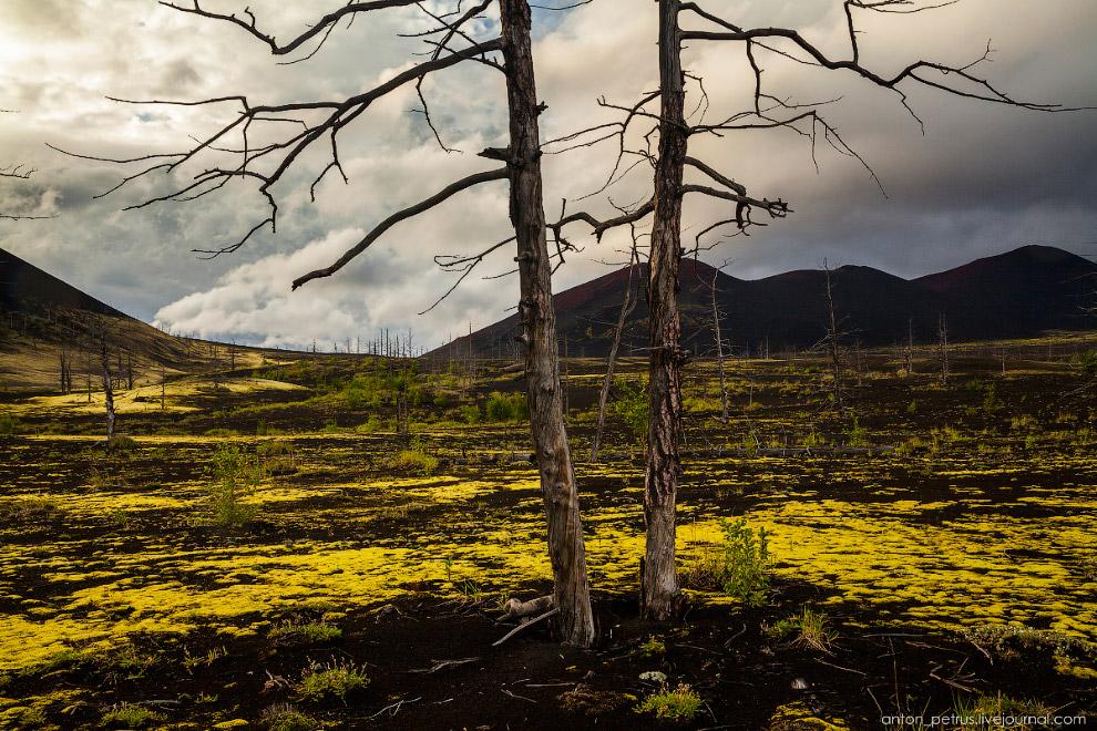 13. В советское время в 8 километрах от Мертвого леса ближе к подножью вулкана Плоский Толбачик нахо