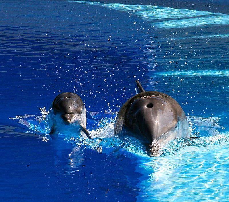 Дельфин — единственное млекопитающее, рождение которого начинается в прямом смысле с хвоста, а не с