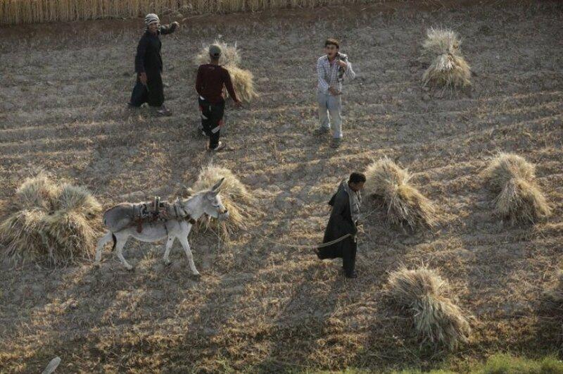 Фермеры собирают пшеницу в то время, как воздушный шар опускается на землю на западном берегу реки Нил в Луксоре, Египет.