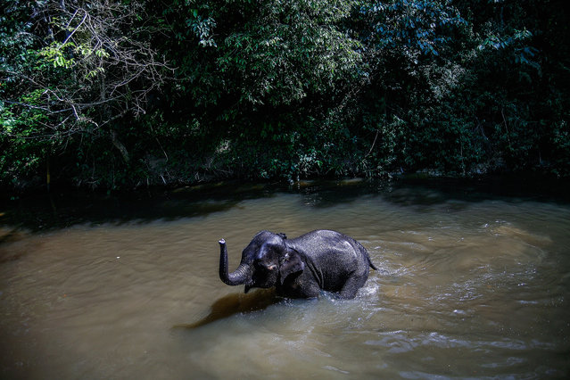 An Elephant is seen swimming in a river near the National Elephant Conservation Centre on March 1, 2