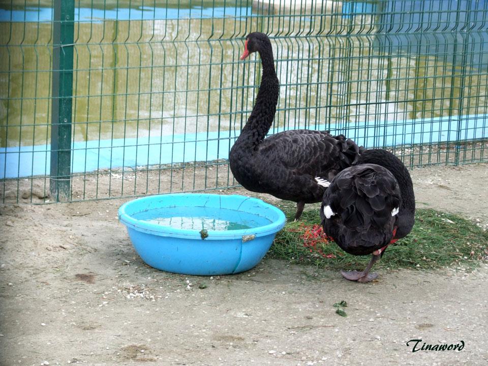 черные-лебеди-7.jpg