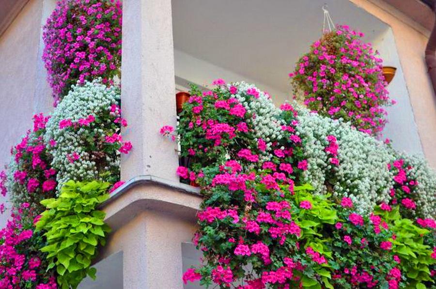 Ампельные цветы на балконе + фото.