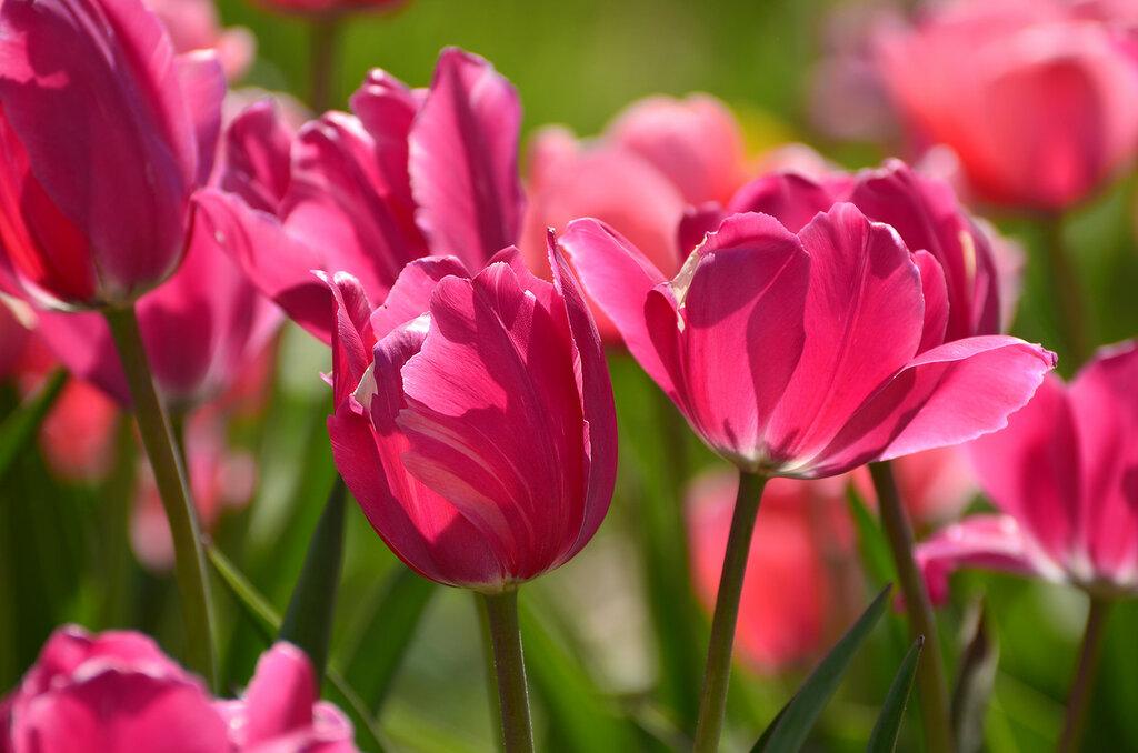 В розовом цвете