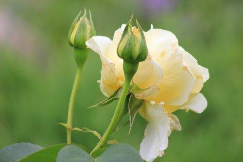 Роза и ее свита!