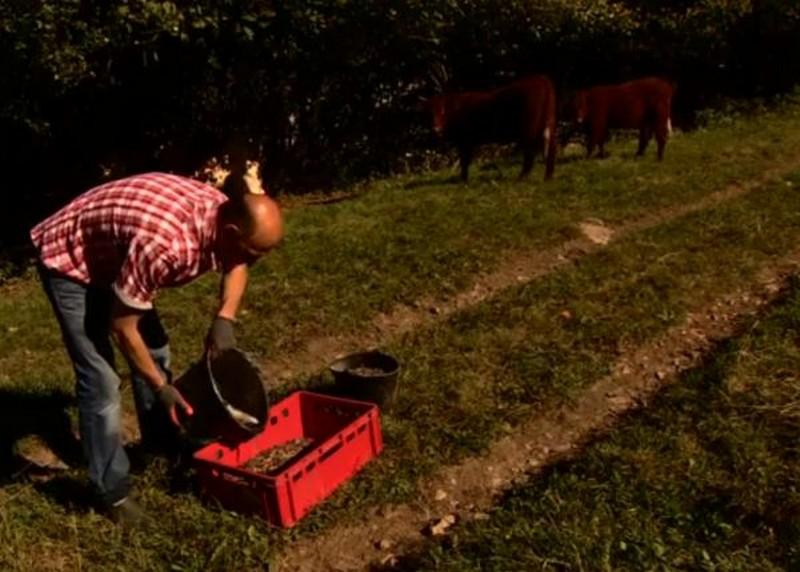 Фермер ежедневно поит своих коров темным пивом