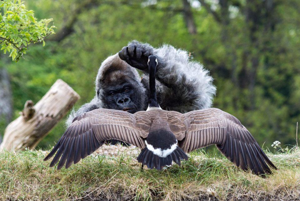 Гусь горилле не товарищ