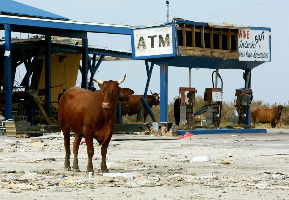 10. Во время песчаной бури корова всегда укажет верный путь. Республика Нигер, 19 декабря 2006.
