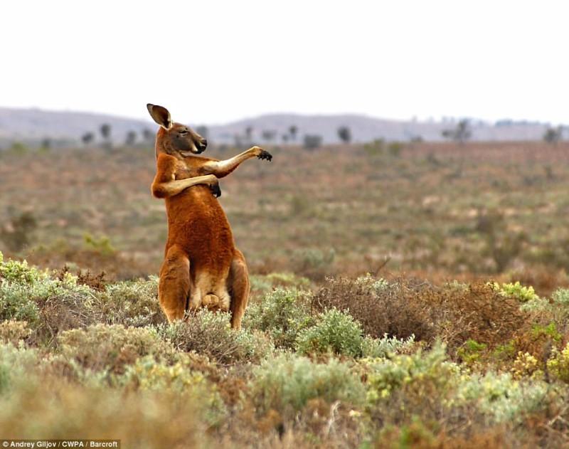 Кенгуру начинает день с боевых искусств на фотографии под названием «Кунг-фу — австралийский стиль»