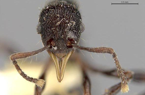 Вжелудке лягушки отыскали новый вид муравьев счелюстями-щипцами