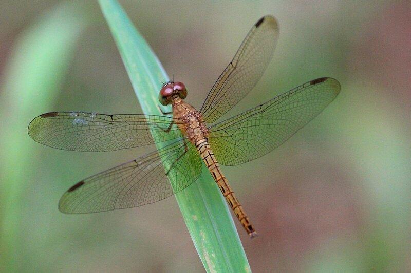Зеленовато-серая стрекоза с прозрачными крыльями и черными метками на крыльях. Снято в Khao Lak, Таиланд