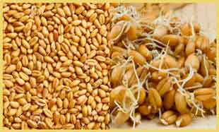 Когда поможет пшеница.jpg