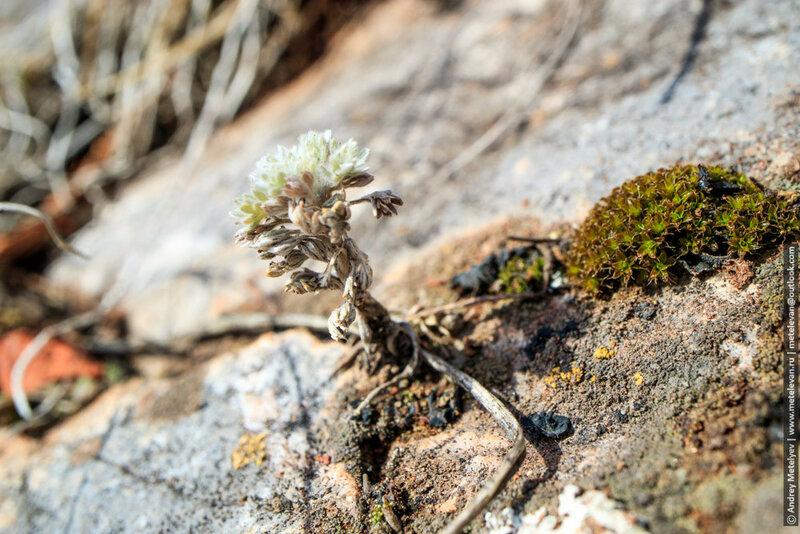 растение растущее на скале