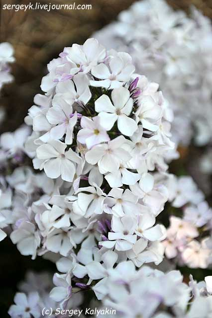 Phlox paniculata Fontanka (16).JPG