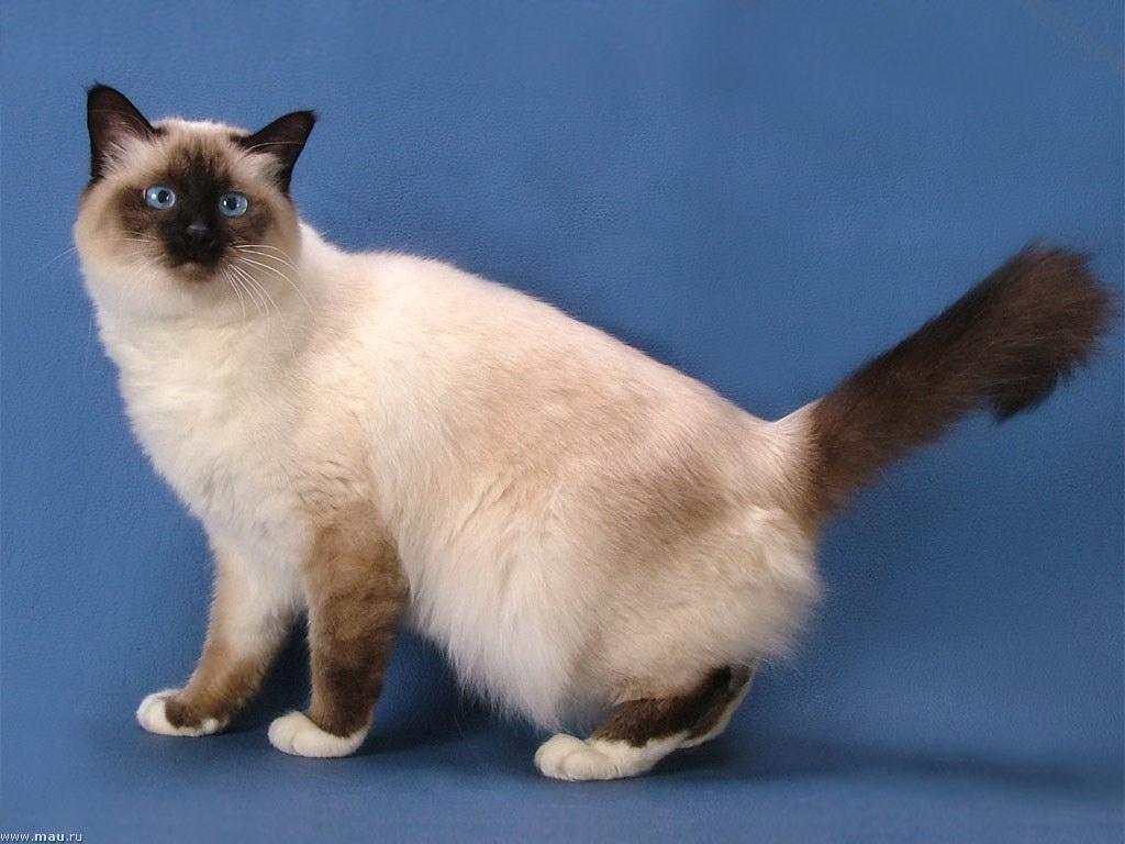 Граціозна бірманська кішка