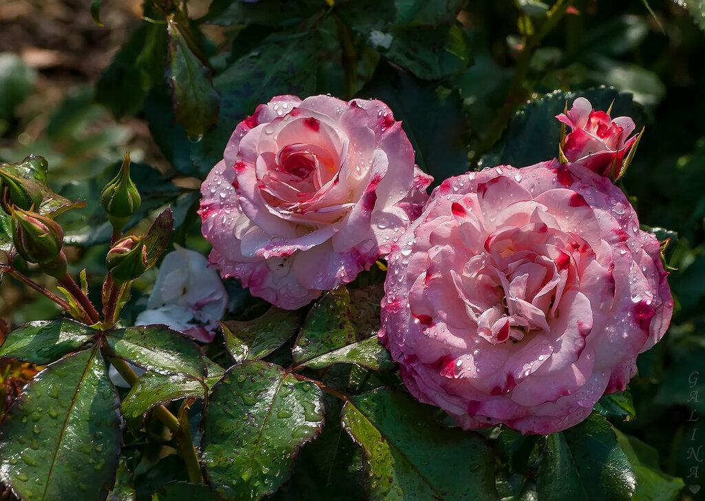 Дождь ,солнце и розы ...
