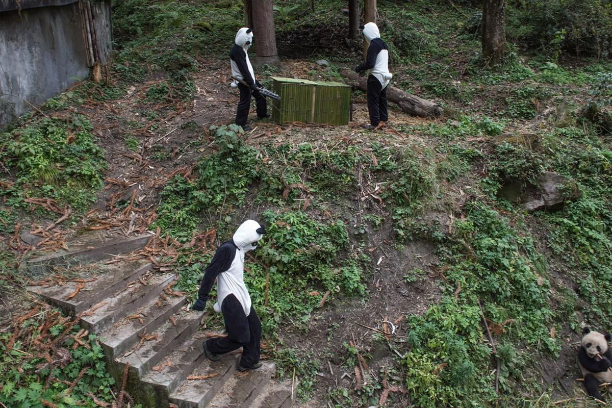 Смотрители в костюмах панд пытаются заманить панду Юн Тао в ящик, чтобы перевезти ее в другой вольер