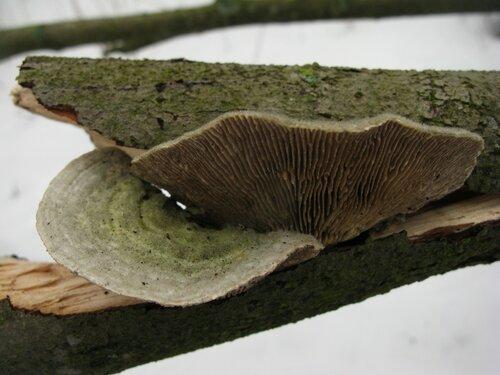 Лензитес березовый (Lenzites betulina). В данном случае на ольхе Автор фото: Станислав Кривошеев