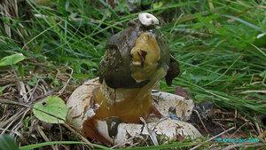 Весёлка обыкновенная, одетая в тогу (Phallus impudicus var. togatus)